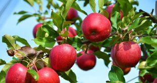 تفاله سیب درختی